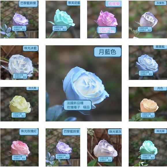 臺灣發貨 玫瑰花種子超低價格 玫瑰種子 玫瑰花種子 玫瑰種子 多肉 多肉種子草莓種子碗蓮種子 藍色妖姬.