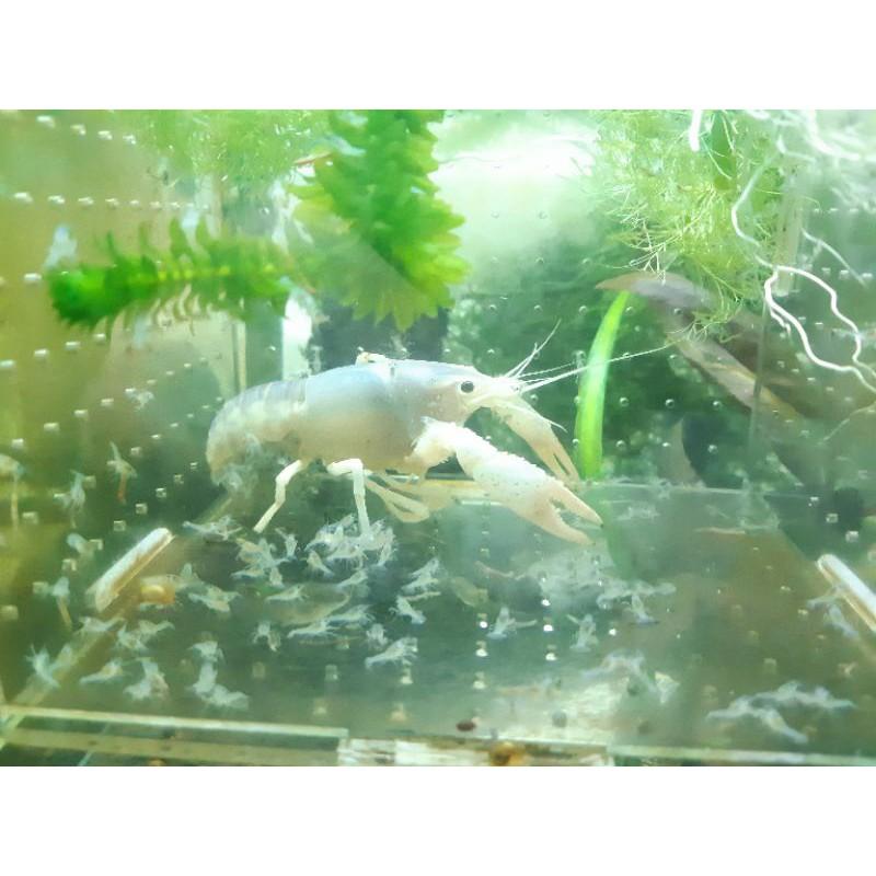 幽靈螯蝦/白幽靈系列 淡藍背(母蝦表現)