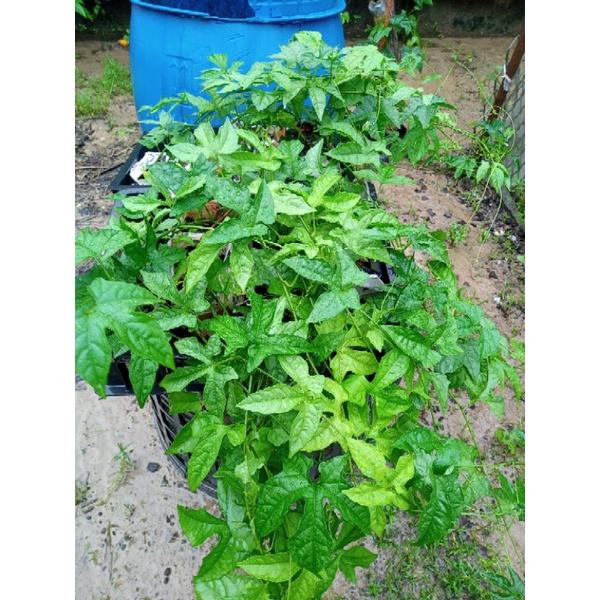 木鱉果苗6株+贈種籽30粒