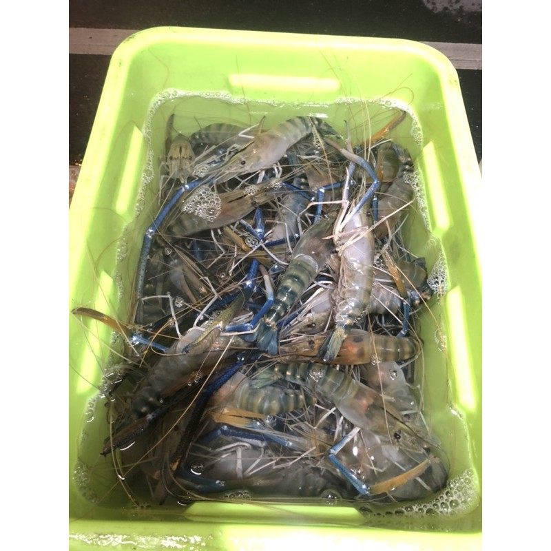 (8斤免運下標區)ㄧ斤380魚塭現抓泰國蝦特大公蝦,可提供活凍影片#8斤免運費 最新鮮大隻的在這邊一斤約4-6隻