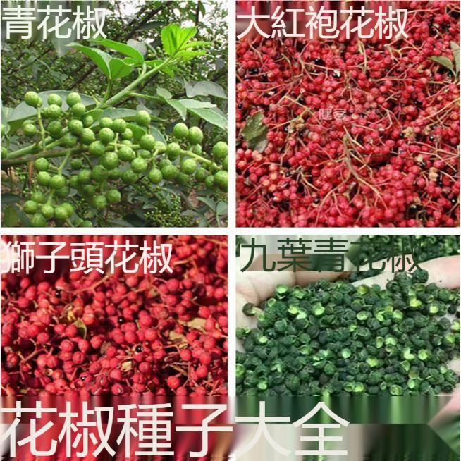 花椒種子 正宗大紅袍花椒種子 無刺花椒籽 韓城 九葉青花椒樹種子