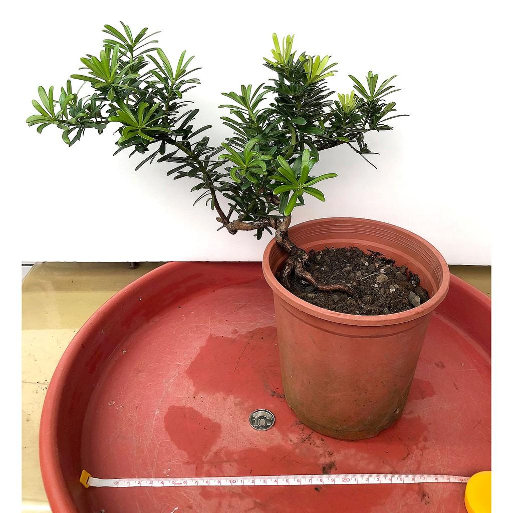 [美綠盆栽] 晶鑽羅漢松 金鑽羅漢松 彎曲度美 半裸根 金鑽 晶鑽 羅漢松 盆栽 盆景