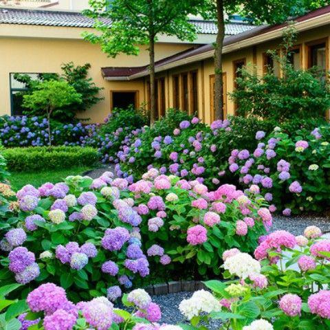 繡球花種子 花種四季開花 太陽花種子