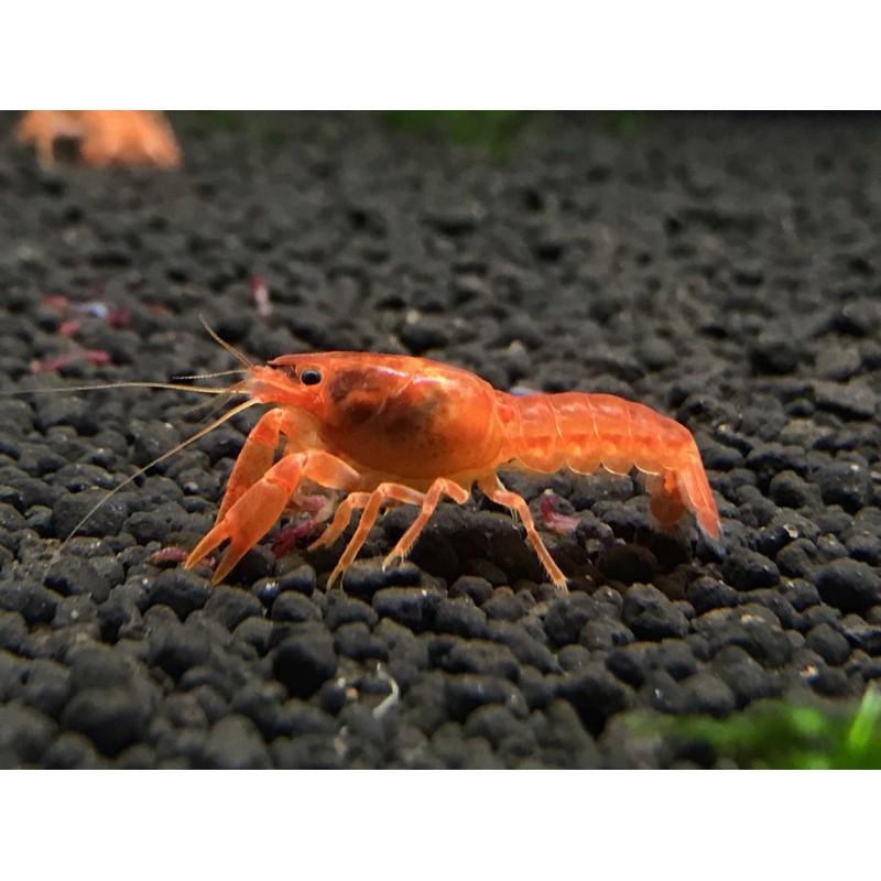 CPO侏儒橘螯 對蝦一公一母 迷你螯蝦