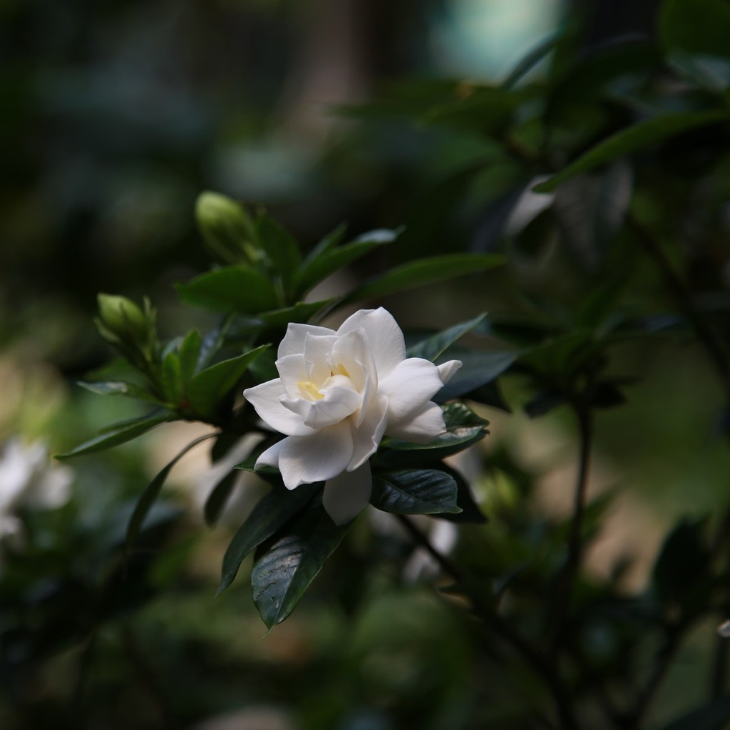 [Halle's shop] 梔子花精油 Gardenia Essential Oil