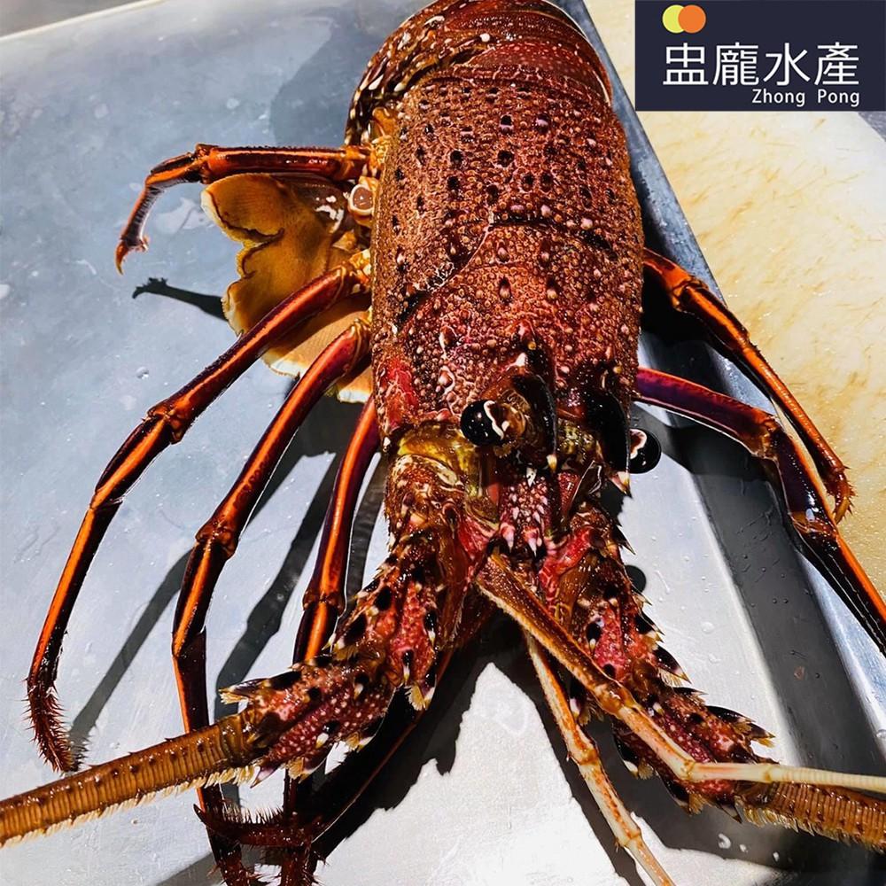【盅龐水產】活體水姑娘龍蝦 - 421~970g/隻