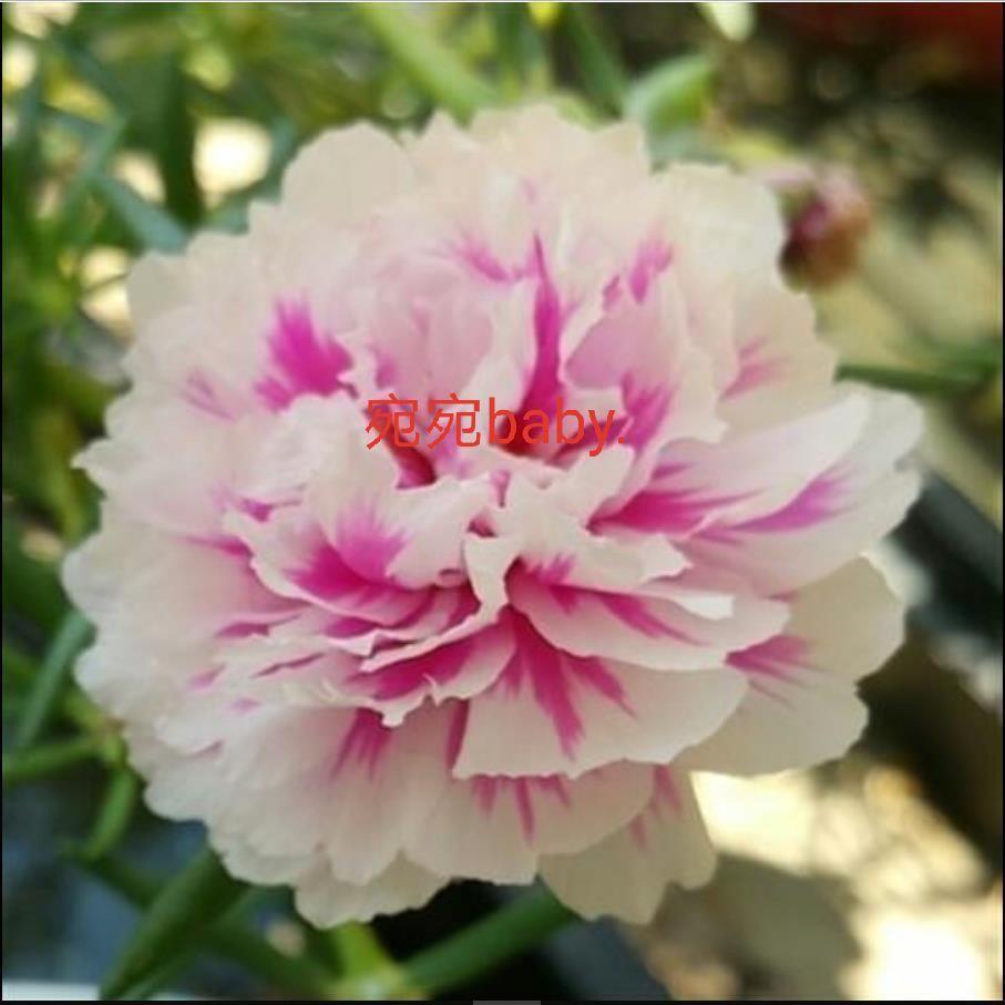 四季易種活 重瓣太陽花  花種子
