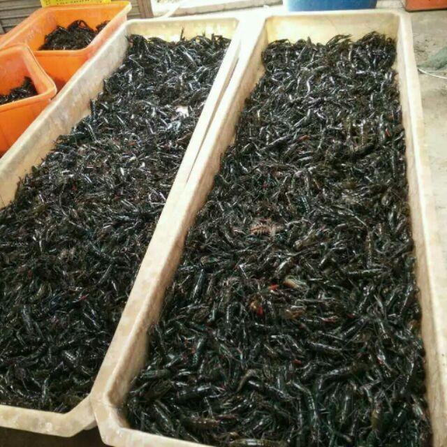 澳洲淡水龍蝦成蝦8-10尾一斤.10-15尾一斤