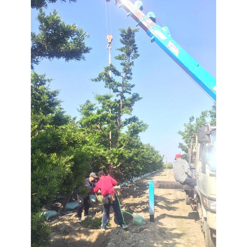 《榮恩園藝》蘭嶼羅漢松,層型羅漢松,頭部直徑23~28,高度4米左右<一次10棵>不含挖運