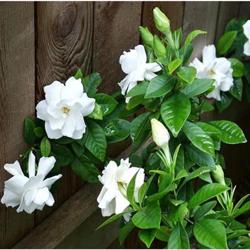 梔子花種子 重瓣大小葉四季 濃香綠植盆栽花卉室內植物