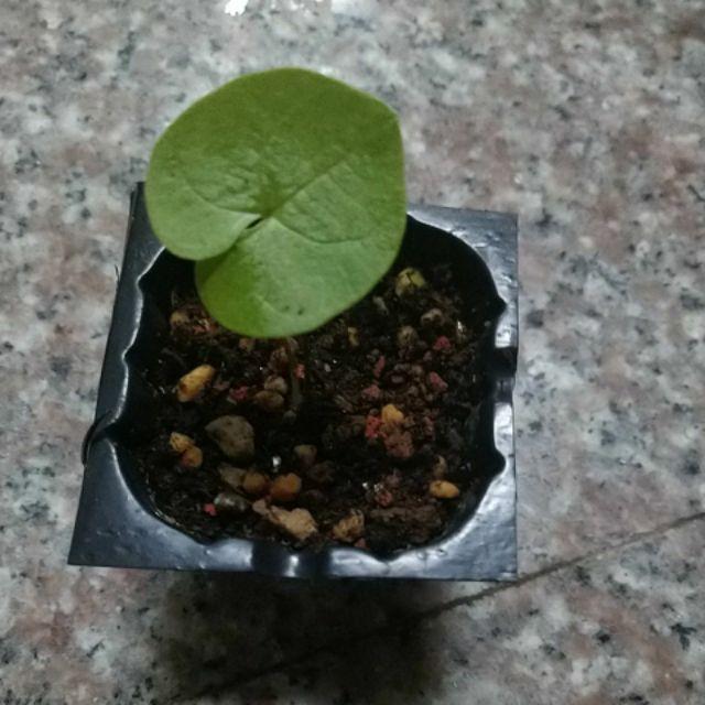 多肉植物 塊莖 塊根 南非龜甲龍 墨西哥龜甲龍 小苗 種子