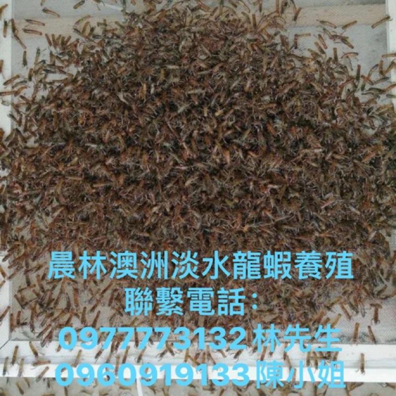 澳洲淡水龍蝦苗2-3..5-7公分