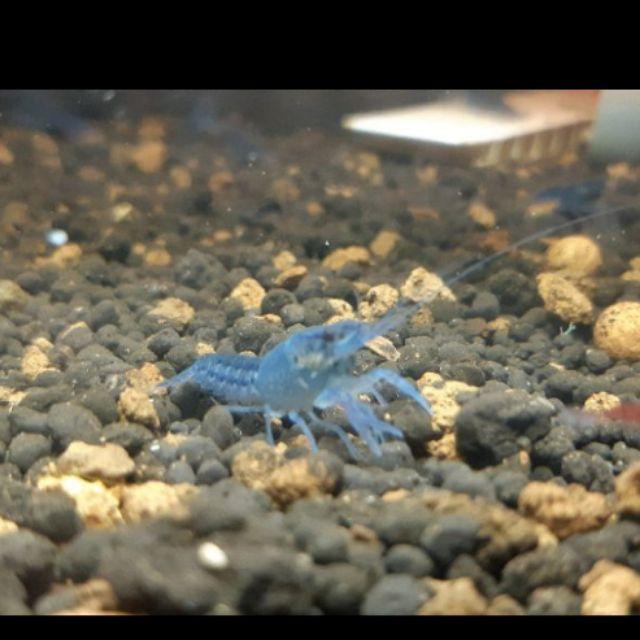 釣餌/飼料蝦 小龍蝦/ 觀賞蝦 佛羅里達藍螯  藍螯 仔蝦/入門/基礎/育樂