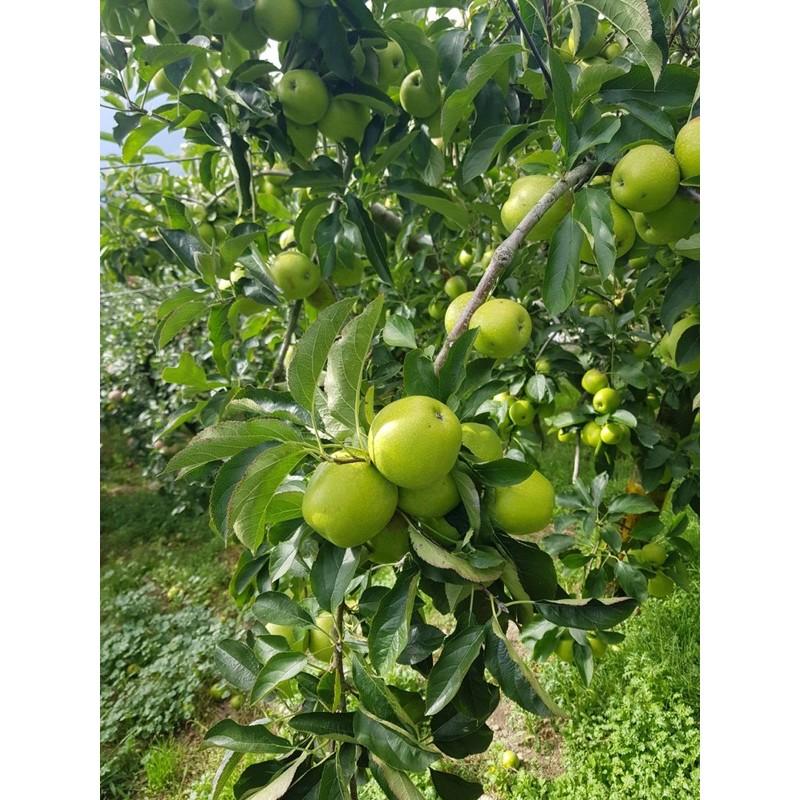 梨山李子、梨山水蜜桃、梨山蜜蘋果、梨山水果、梨山梨子