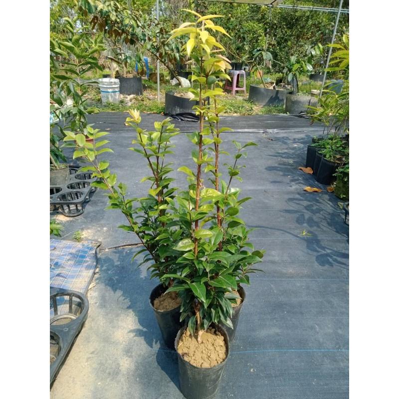 熊榆園藝 四季樹葡萄、實生苗高度50公分/水果樹苗/新興果樹