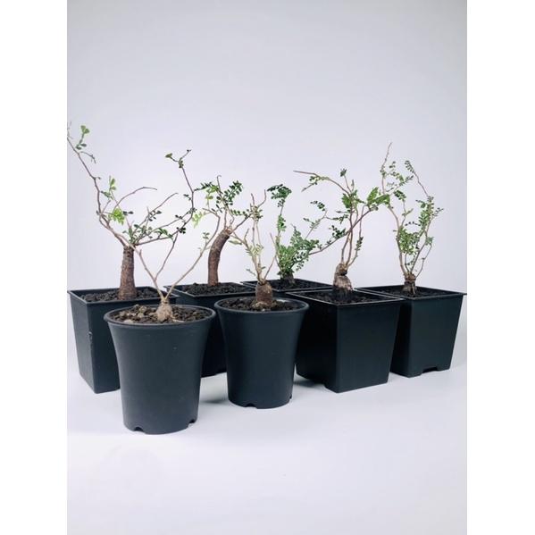 免運‼️象足漆樹(根插)Operculicarya pachypus 塊根植物