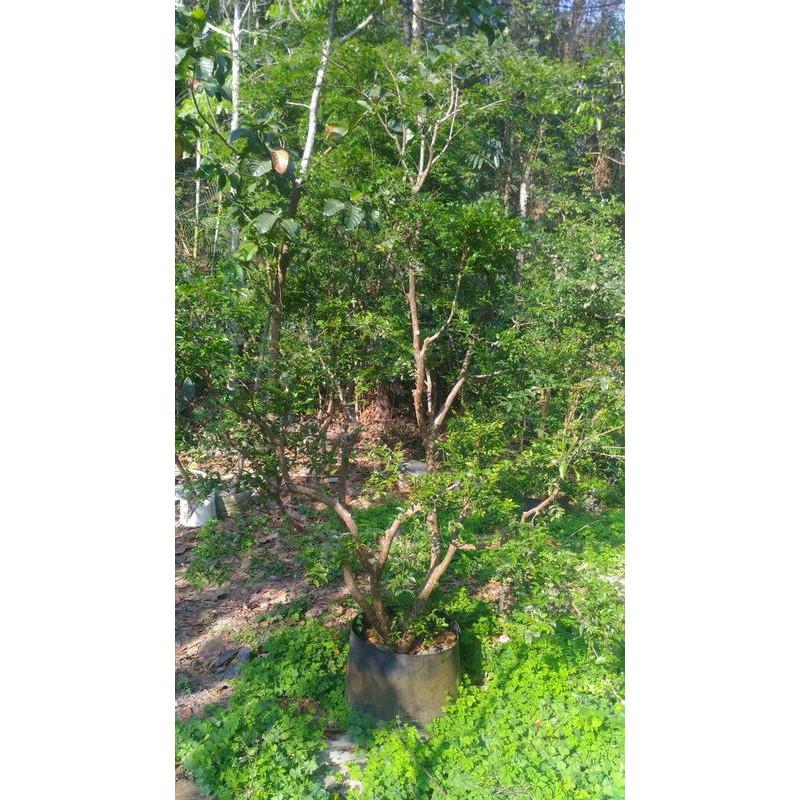 園藝 觀賞樹種巴西國寶 樹葡萄 成樹、樹苗 嘉寶果