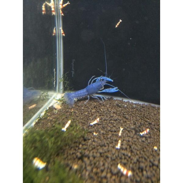 【六號蝦坊】純藍螯蝦 螯蝦 對蝦 非天空藍魔 非破壞者