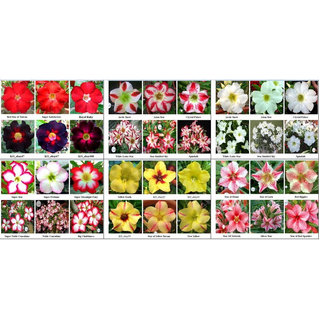 沙漠玫瑰 種子 seeds ㊣ adenium_ko_tw ㊣單瓣沙漠玫瑰種子★綜合品種★一包15粒 特價60元