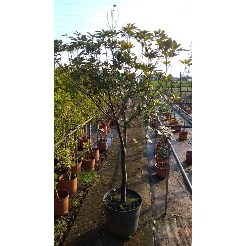 佛光樹 1.2尺盆 1棵1件運費