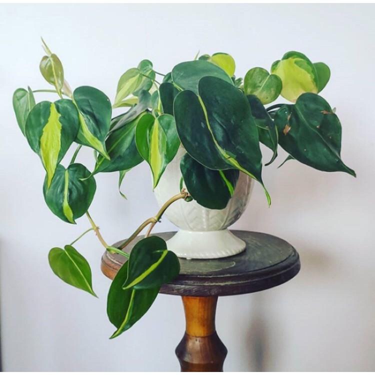 植物:油畫心葉蔓綠絨、斑紋蔓綠絨、蔓綠絨(售一段枝條含葉片)充滿變化多端の神秘葉面❤️