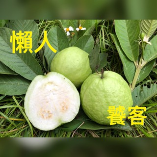【懶人嚴選】屏東大武山新鮮珍珠芭樂/ ((每顆300-400g)) 屏東縣