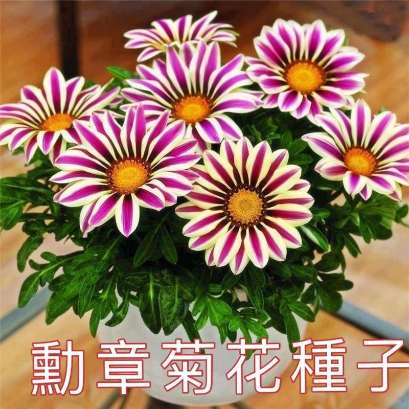 勳章菊花種子四季開花種子非洲太陽花菊花20塊錢10粒