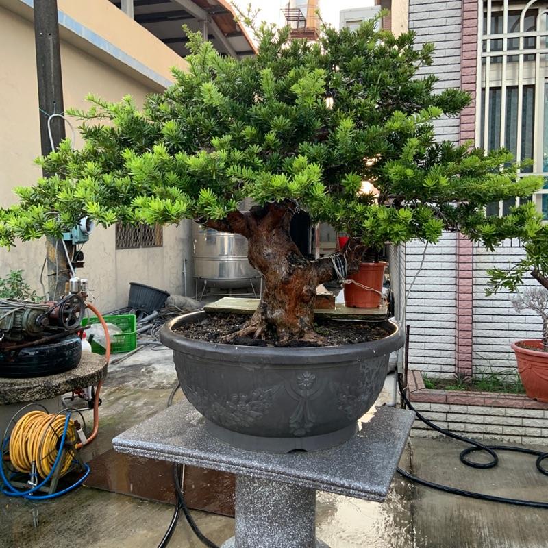 屏東青山常在園藝盆景-金鑽羅漢松‼️ 喜歡誠可小議,好樹需要有緣人。歡迎親看互相交流