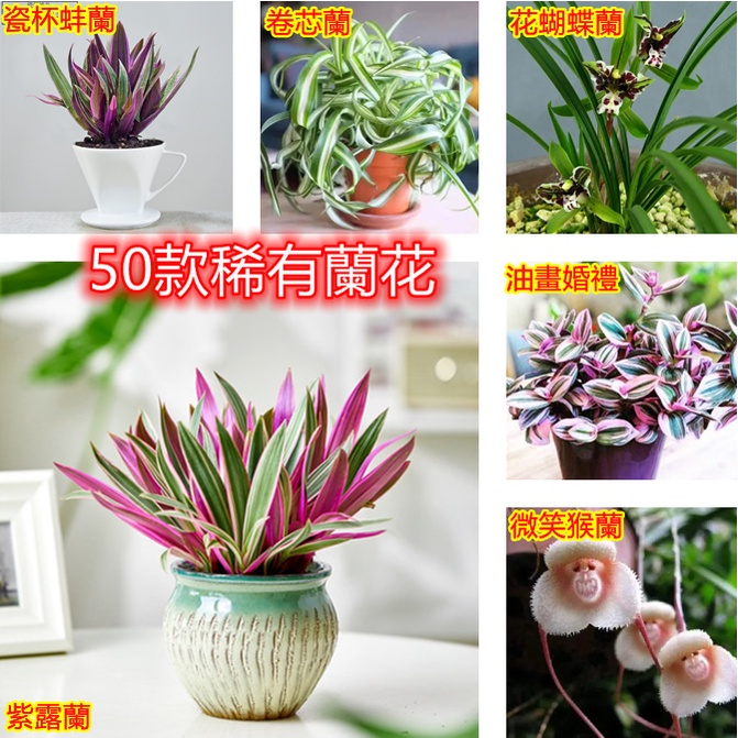稀有蘭花種子 油畫婚禮蘭花種子 猴面蘭花種子 當年開花超多款 發芽率高❤❤❤❤❤
