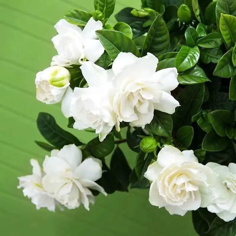 梔子花種子重辦大葉小葉梔子花種籽四季濃香綠植盆栽花卉種子 梔子花