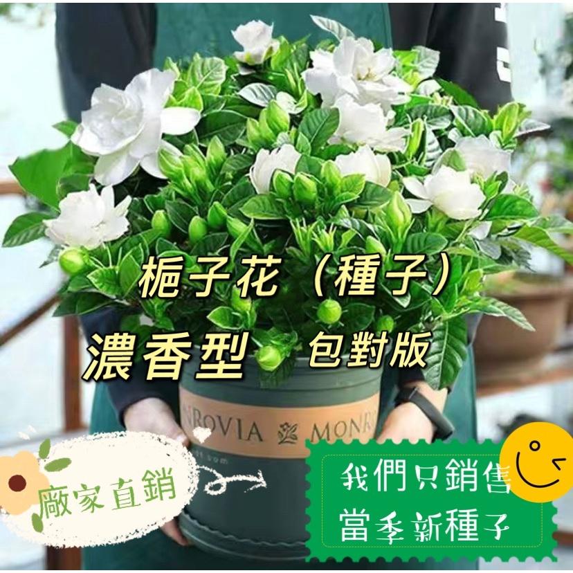 梔子花種子 重瓣大葉小葉梔子花種籽 四季濃香綠植盆栽花卉室內植物12 梔子花