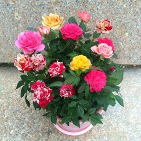 松鼠園藝 玫瑰花種子易種玫瑰花籽開花不斷鮮花種子