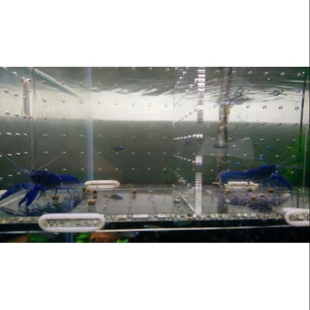 飼料/黑色膠囊(鈷藍)螯蝦3公分以下不分公母