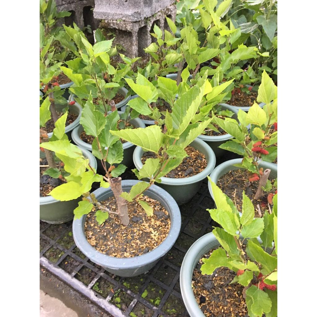 一禪種苗園-味甜多汁補血<甜桑椹樹(蠶桑樹)>水果苗-6吋盆