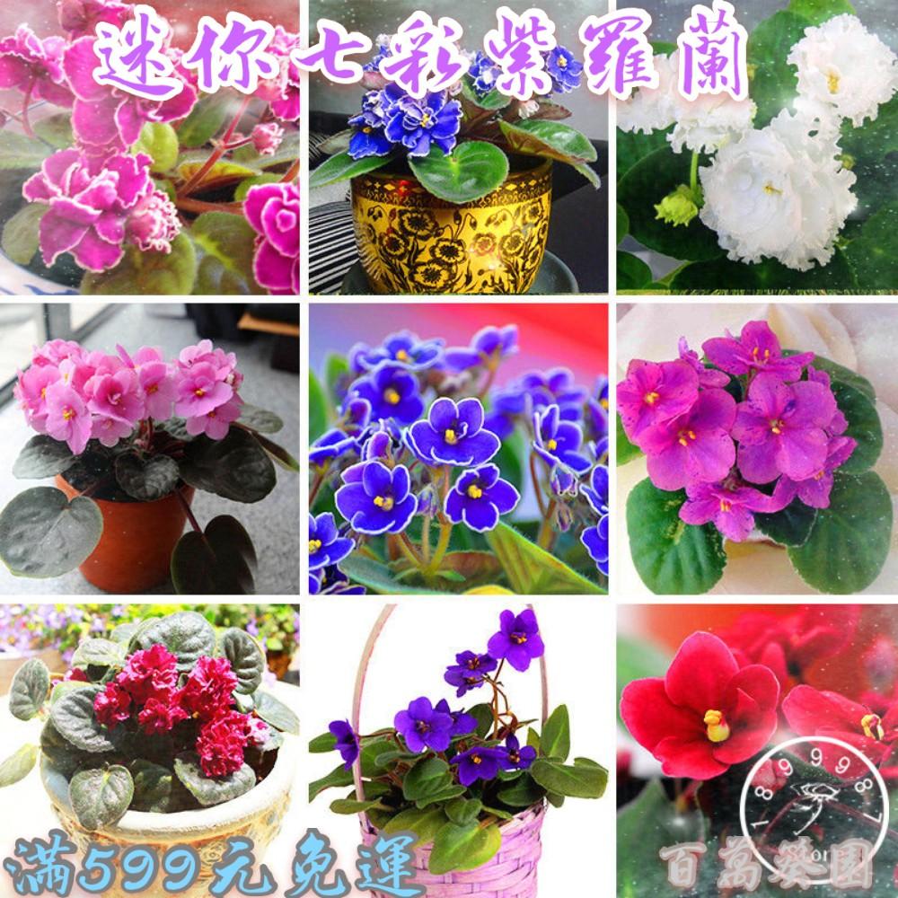 紫羅蘭花種子  草桂花富貴花   迷你紫羅蘭  四季種植 易活 發芽率高