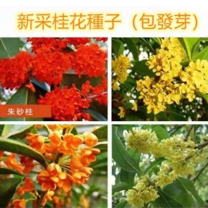 新桂花種子 四季桂花 芳香花卉 四季播種