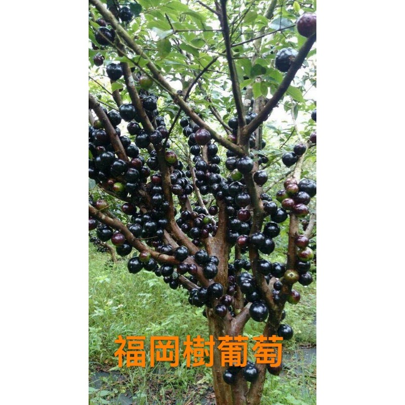 福岡樹葡萄 果實大果