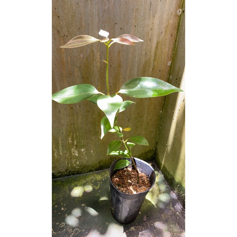 佛光樹(金新木薑子˙ 七寶樹˙佛光樹