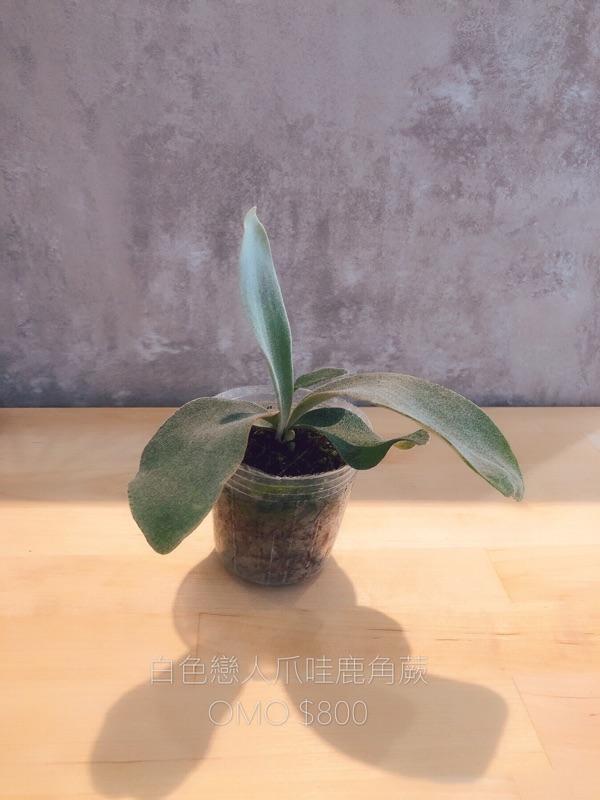 《金卉植物工坊》 omo 「白色戀人」 鹿角蕨