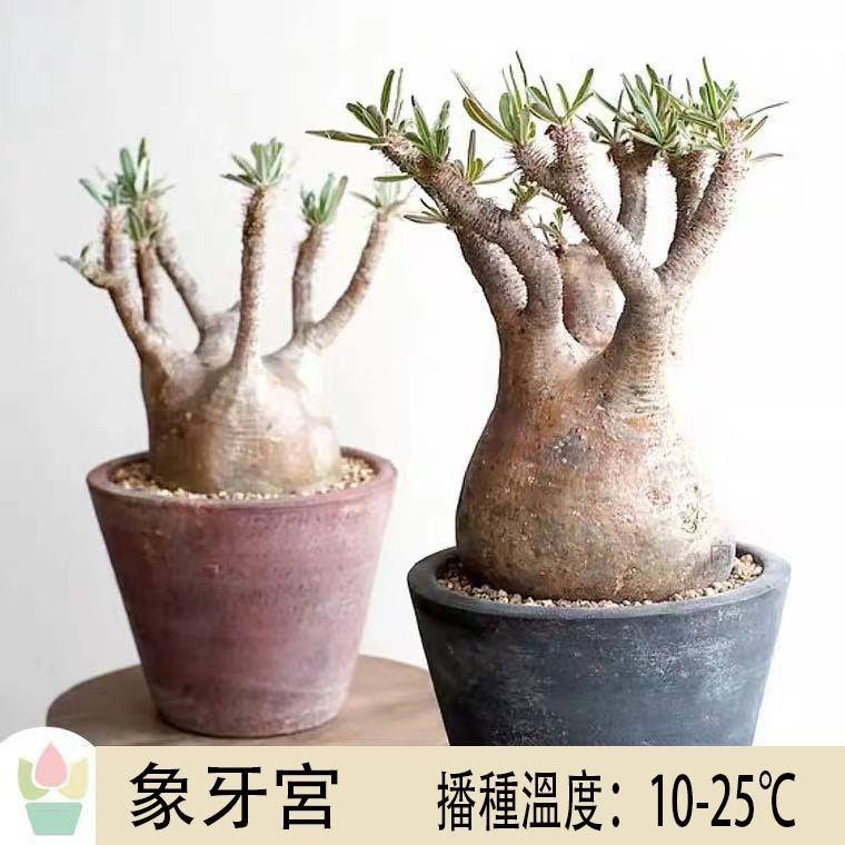 象牙宮棒槌樹屬 塊根種子 Pachypodium rosulatum 稀有多肉種子
