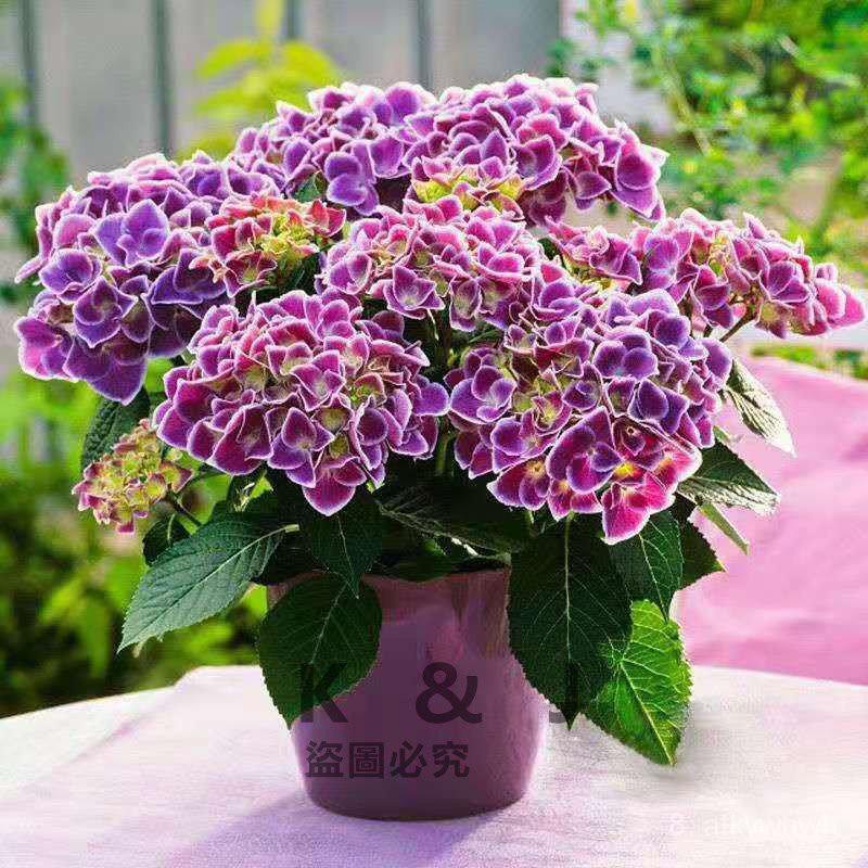 全網最多款繡球種子八仙花種子繡球花種子四季易活觀賞花卉K&J