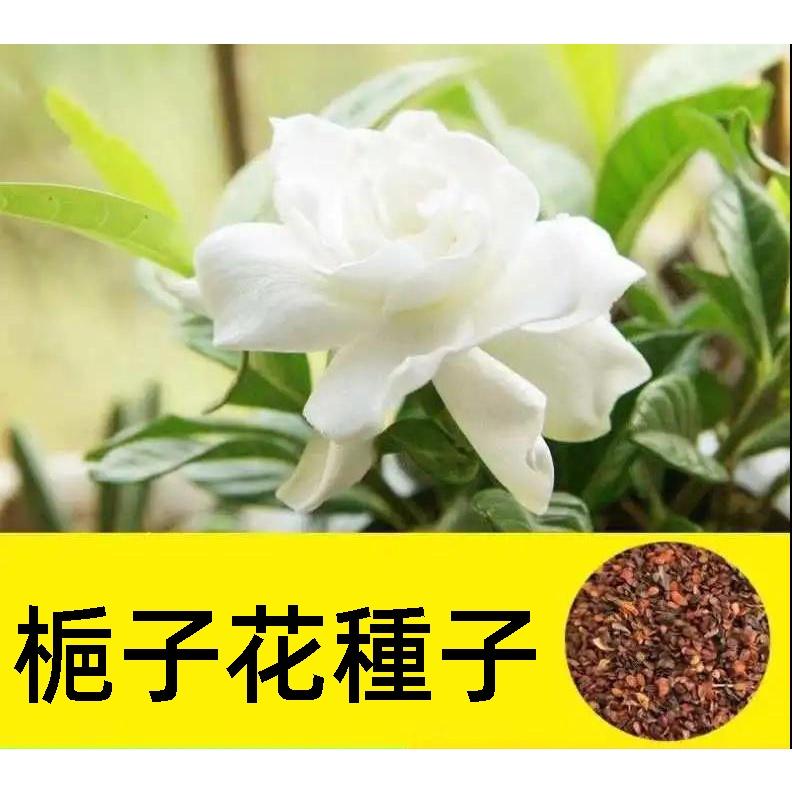梔子花種子 Gardenia jasminoides 四季開花易活植物盆栽室內外庭院陽臺梔子花種花卉種子