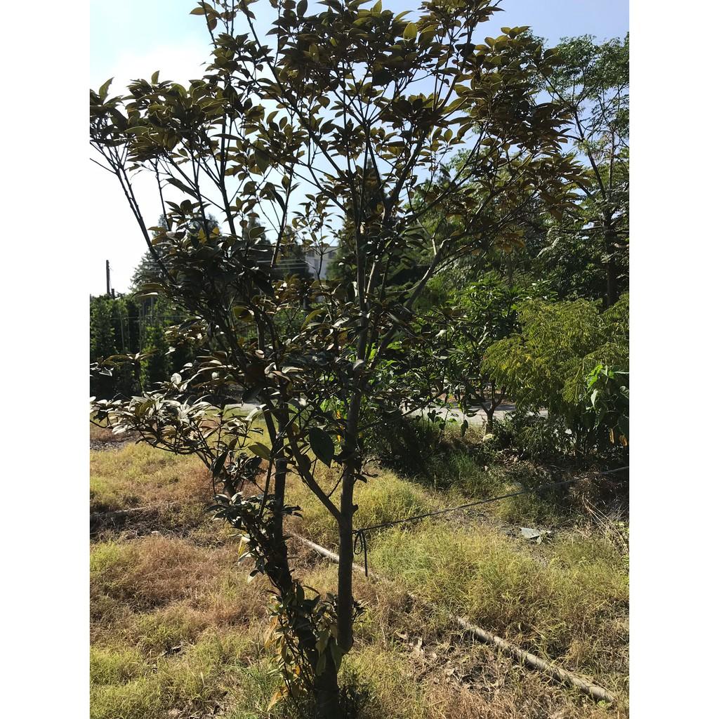 佛光樹,七寶樹、金新木薑子