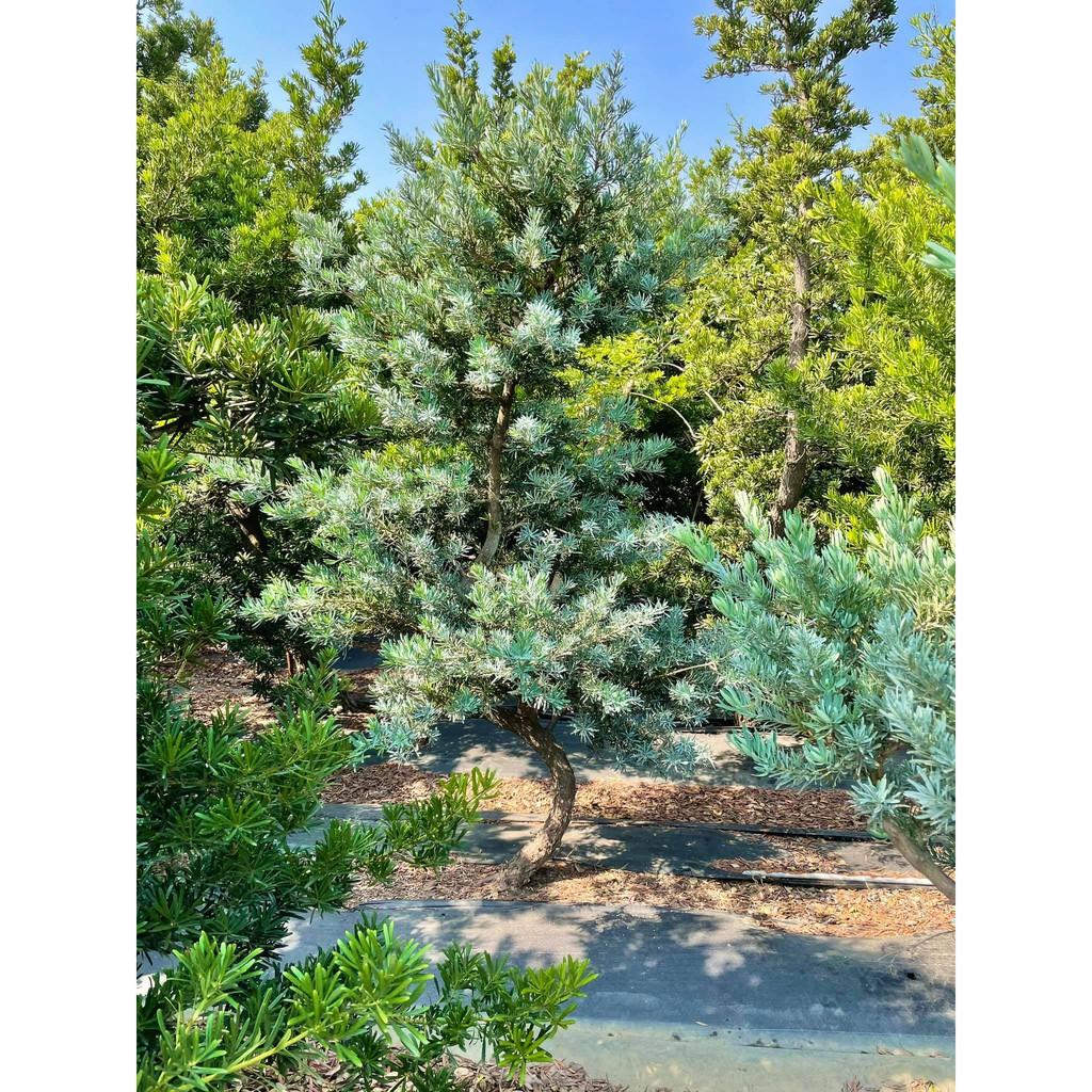 《榮恩園藝》藍羅漢松,樹頭直徑10公分,高度2-3米,不含運輸