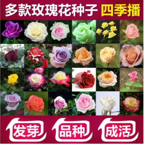玫瑰種子 玫瑰花種籽 玫瑰花種子 發芽率高達99% 限時搶購