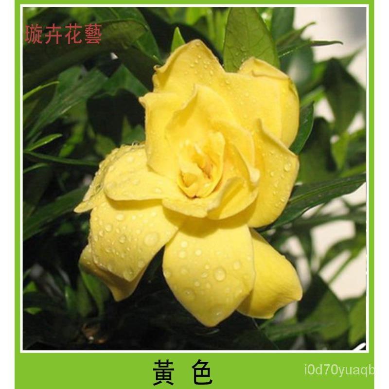梔子花種子 多色梔子花 四季開花種籽子 花香濃郁 易栽好活 易活室內盆栽花種子