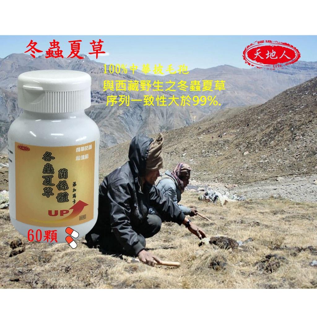 天地人冬蟲夏草膠囊500mg*60顆裝   與西藏野生冬蟲夏草DNA相似度99%以上.台灣培育採收製造