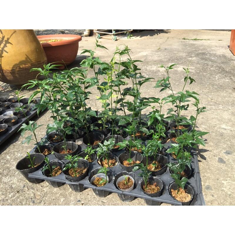 🔥越南品種木鱉果苗🔥台灣本土品種木鱉果苗🔥