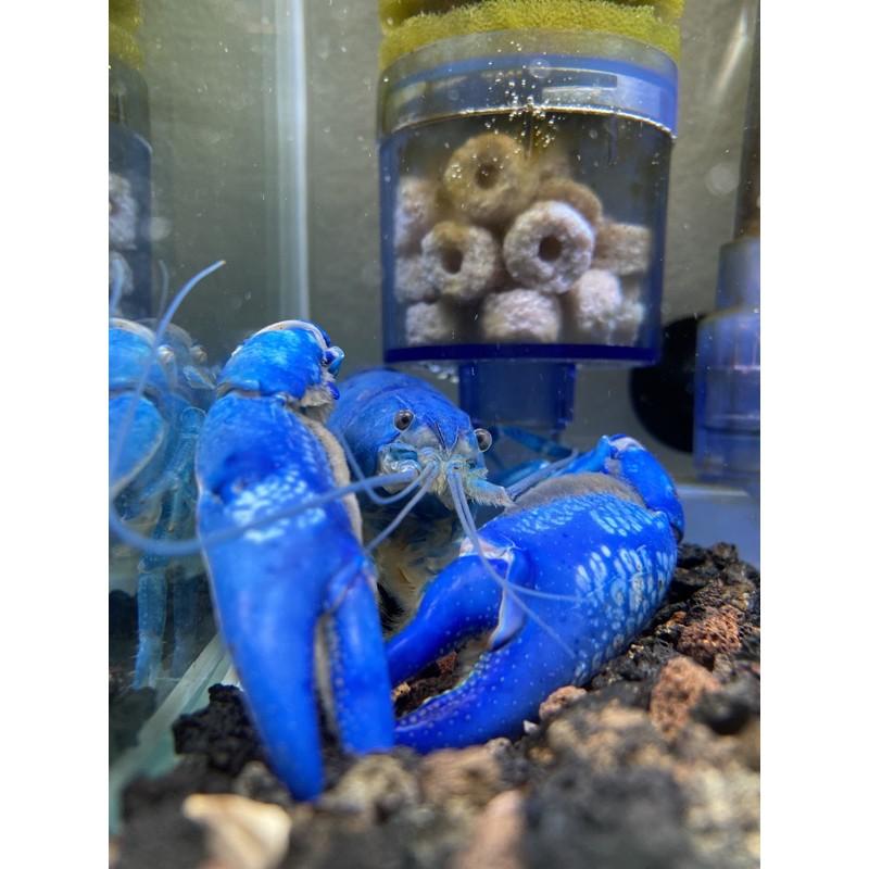 澳洲純藍 純藍螯蝦 螯蝦 龍蝦 1~1.5公分仔