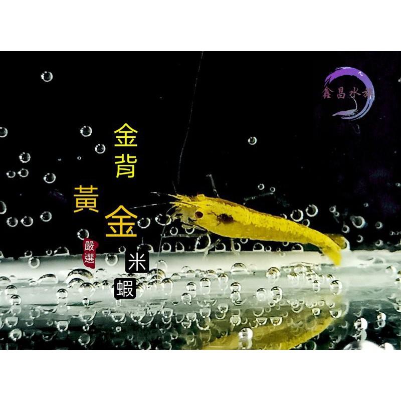 ≲鑫昌水族≳ 金背黃金米蝦